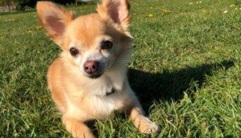 willy hond asiel herplaatser