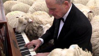 Privéconcert voor de schapen