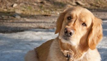 hond dementie