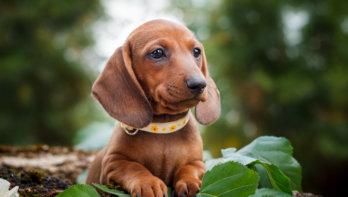 Puppyhersenen tijdens de socialisatiefase
