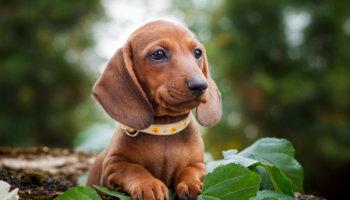 socialisatiefase pup