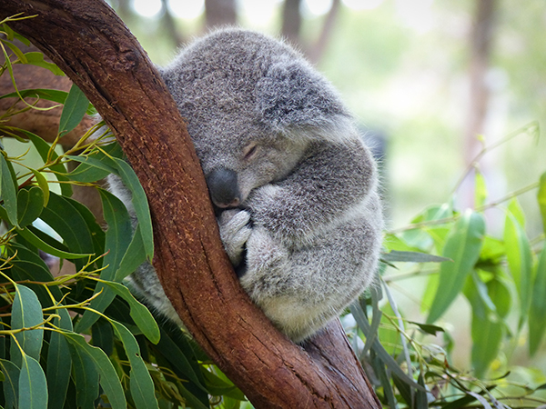 koala eucalyptusbomen