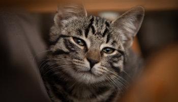 europees korthaar kat karakter uiterlijk