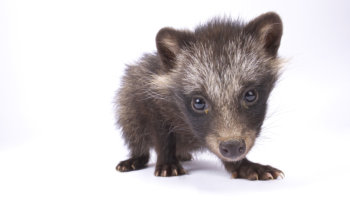 wasbeerhond bont