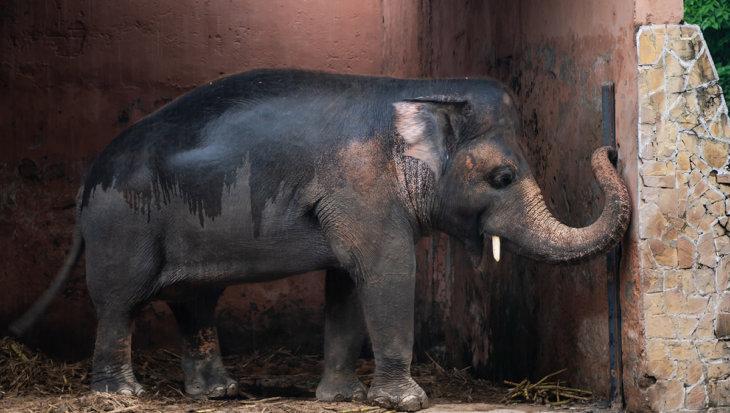 Kaavan: de eenzaamste olifant ter wereld