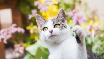 castratie kat