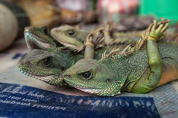 hagedissen handel in wilde dieren