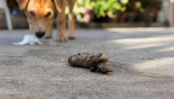 hond eet poep
