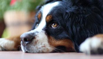 voedselallergie honden