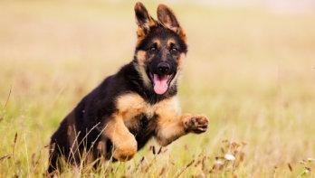 Hond luistert tijdens cursus wel, maar thuis niet