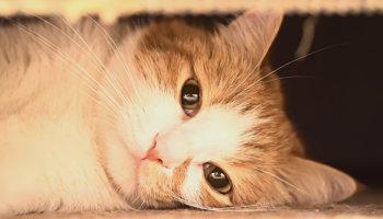 kattenleukemie FeLV