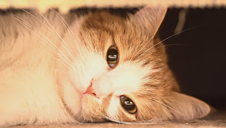 Kattenleukemie – FeLV