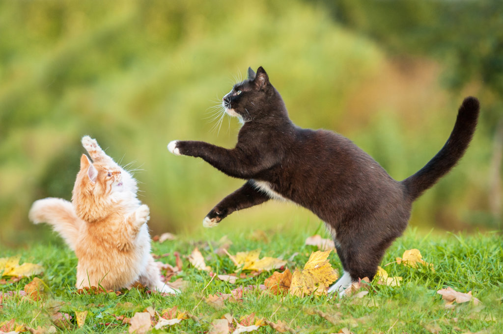 kattenleukemie besmettelijk FeLV