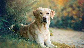 labrador retriever hondenras