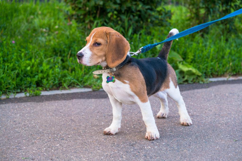 beagle uiterlijk