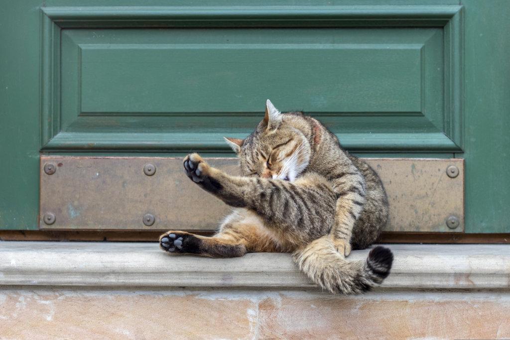 kat ontwormen vlooien