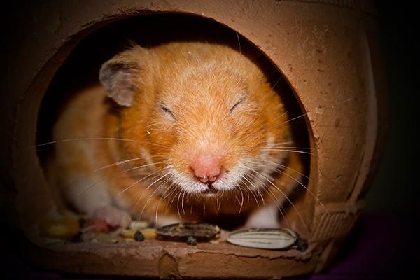 Hamster in winterslaap