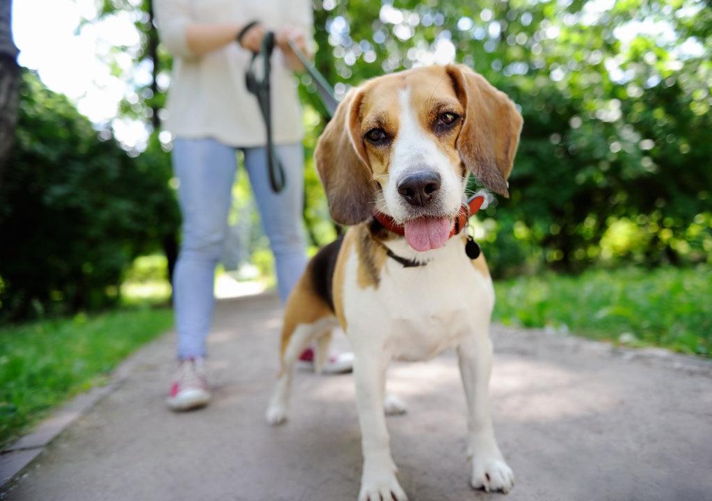 beagle eigenwijs charme