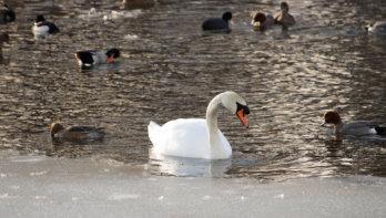 Rouwende zwaan uit het ijs gered