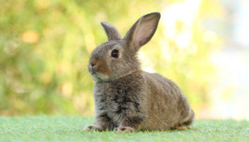 bijtend konijn