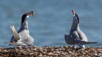 Lauwersoog helpt vogels met broedeiland