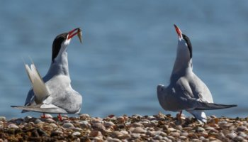 broedeiland vogels Lauwersoog