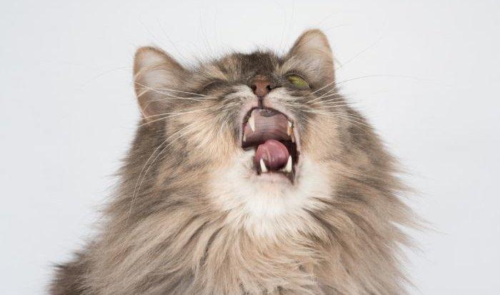 Niesziekte bij katten