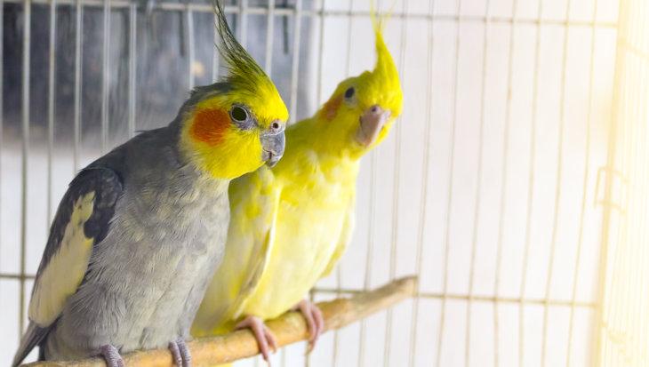 Deze vogels kunnen bij elkaar