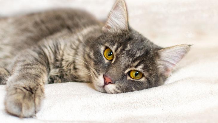 Alvleesklieraandoeningen bij katten