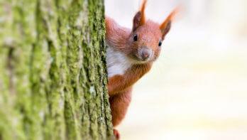 Eekhoorns leven langer met goede buren