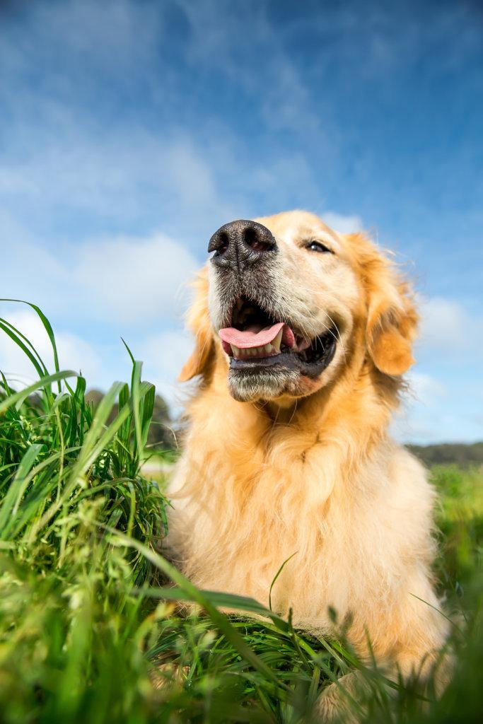 tanden honden pedigree