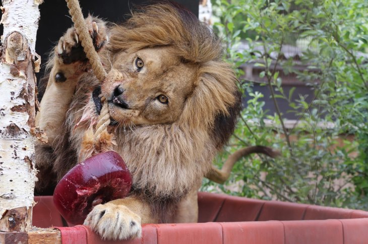 opvang leeuwen enkatachtigen