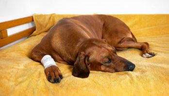 Pijn in de hondenpoot
