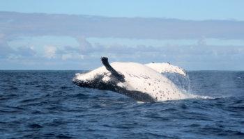walvisjacht ijsland
