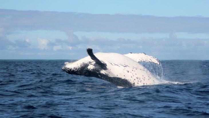 Dit jaar opnieuw een stop op de IJslandse walvisjacht