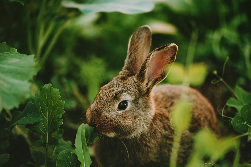 konijnentanden kauwen