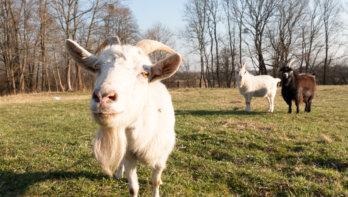 De 10 leukste baarddragers van het dierenrijk