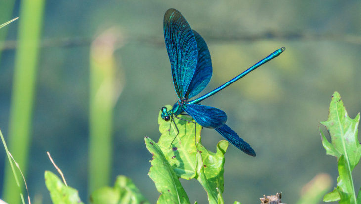 Libellen als natuurlijke bestrijding van muggen