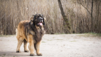 Hondenras: Leonberger