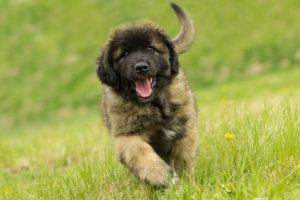 leonberger puppy