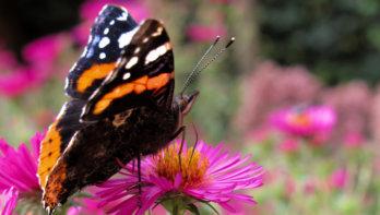 Vlinderexplosie in Nederland