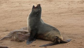 Help Kaapse pelsrobben in Namibië