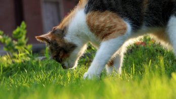 Toxoplasmose onder katten