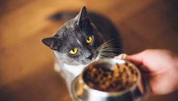 Voedselallergie bij katten