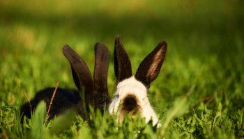 konijnen naar buiten augustus