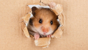 Hamsters gevoelig voor stress
