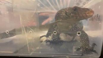 Dierenorganisaties ontsteld over grote reptielenbeurs