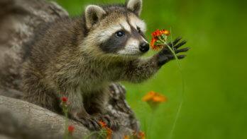 Project tegen afschot wasberen gaat door