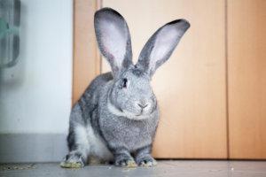 vlaamse reus groot konijn