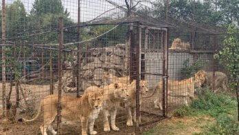 VIER VOETERS redt zeven Roemeense leeuwen